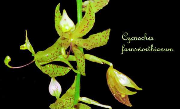 Cycnoches farnsworthianum